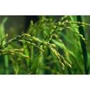 Ryż (oryza Sativa) nasiona