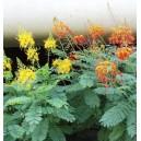 Brezylka nadobna (Caesalpinia Pulcherrima) nasiona
