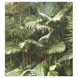 Palma Lakka (Cyrtostachys Lakka) nasiona 5 szt