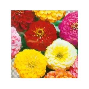 http://www.oleander.pl/626-1701-thickbox/cynia-daliowa-nasiona.jpg