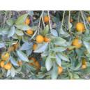 Kumkwat (Fortunella Crassifolia) nasiona