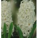 Hiacynt Biały cebulki