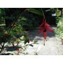 Fuchsia Excoticata nasiona