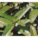 Mięta Pieprzowa (Menth Piperita) nasiona