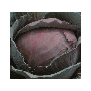 Kapusta Czerwona Głowiasta (średniowczesna) nasiona