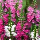 Odętka wirginijska (Physostegia Virginiana) nasiona