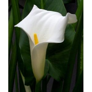 Kallijka Etiopska (Zantedeschia Aethiopica) nasiona 5 szt