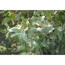 Eukaliptus (Eucaliptus Alpina) nasiona