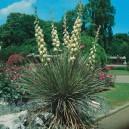 Juka Domowa (Yucca Elephantipes) nasiona