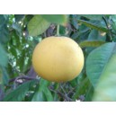 Pomelo (Citrus Grandis) nasiona