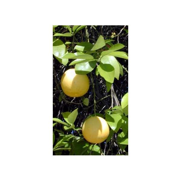 Grapefruit (Citrus Paradisi) nasiona