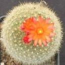 Notokaktus (Notocactus Haselbergii) nasiona