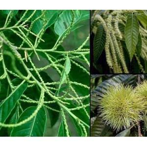 http://www.oleander.pl/724-1827-thickbox/kasztan-jadalny-castanea-crenata-roczna-sadzonki.jpg