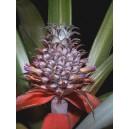 Ananas (Ananas Comosus) sadzonki