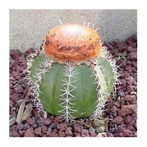 Melocactus (mieszanka Kolorów) nasiona 10 szt