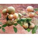 Marmelos Owocujący (Aegle Marmelos) nasiona