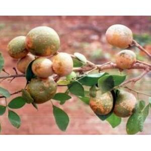 Marmelos Owocujący (Aegle Marmelos) 3 nasiona