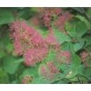 Perukowiec Podolski (Cotinus Coggygria) nasiona