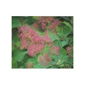 http://www.oleander.pl/737-1838-thickbox/perukowiec-podolski-cotinus-coggygria-nasiona.jpg