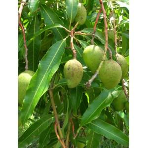 Mango (Mangifera Indica) nasiona