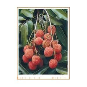Liczi (Litchi Sinensis) 3 nasiona