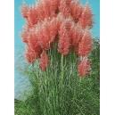 Trawa Pampasowa Różowa (Cortaderia Selloana) nasiona