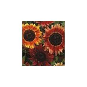 http://www.oleander.pl/748-1849-thickbox/slonecznik-ozdobny-czerwony-nasiona.jpg