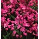 Czosnek Ozdobny Czerwony (Allium) cebulki