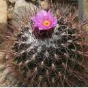 Thelocactus Conothele nasiona