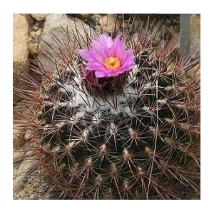 http://www.oleander.pl/752-1853-thickbox/thelocactus-conothele-nasiona.jpg