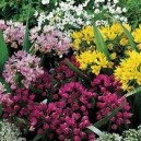 Czosnek Ozdobny Mieszanka (Allium) cebulki