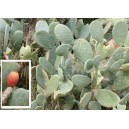 Opuncja Figowa (Ficus Indica) nasiona
