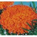 Aksamitka wyniosła Fantastic wysoka (Targetes Erecta) nasiona