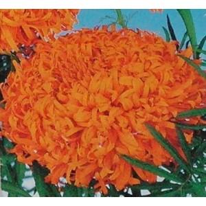 Aksamitka wzniosła wysoka (Targetes Erecta) nasiona