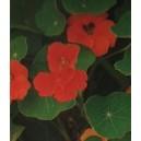 Nasturcja Pnąca (Tropaeolum Majus) nasiona