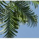 Metasekwoja (Metasequoia Glyptostroboides) 1 Roczna sadzonki