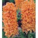 Hiacynt Pomarańczowy cebulki