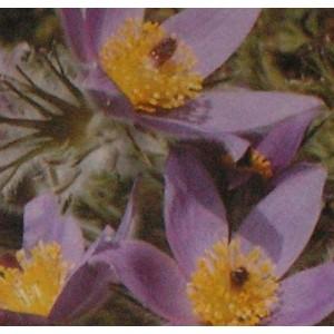 http://www.oleander.pl/809-1907-thickbox/sasanka-dzwonkowata-czerwono-fioletowa-pulsatilla-vulgaris-nasiona.jpg