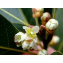 Laur (Laurus nobilis) Mała sadzonki