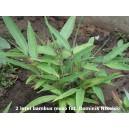 Bambus mrozoodporny (Moso) nasiona