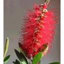 Kuflik (Callistemon Citrinus Red) nasiona