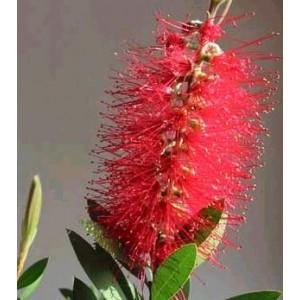 Kuflik (Callistemon Citrinus Red) nasiona 50 szt
