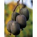 Kiwi (Actinida Arguta) nasiona - wyprzedaż