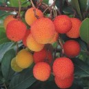 Drzewo Truskawkowe (Arbutus Unedo) nasiona
