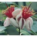 Akka (Feijoa Sellowiana) sadzonki