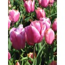 Tulipan (Tulipa Holland Beauty) cebulki