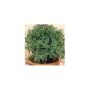 Cząber Ogrodowy (Satureja Hortensis) nasiona