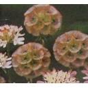 Driakiew Gwiaździsta (Sternkugel,Scabiosa Stellata) nasiona