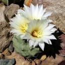 Strombocactus Disciformis nasiona