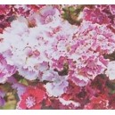 Goździk Brodaty (Dianthus Barbatus) nasiona